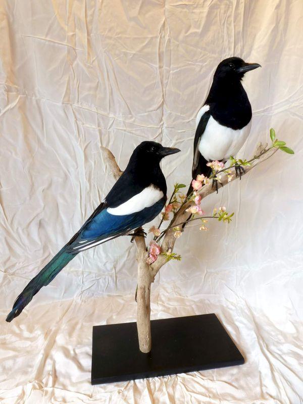 taxidermiste oiseaux