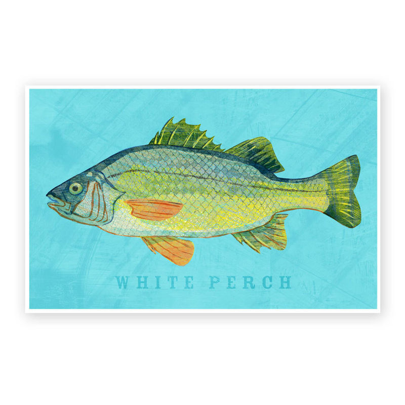 White Perch Art Print - Freshwater Fish Art - 8