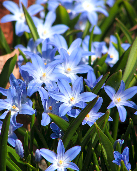 Spring Flowers Photography Blue Glory Of The Snow Mary Foster