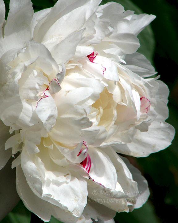 White Peony Flower Art White Peony Flower Photograph