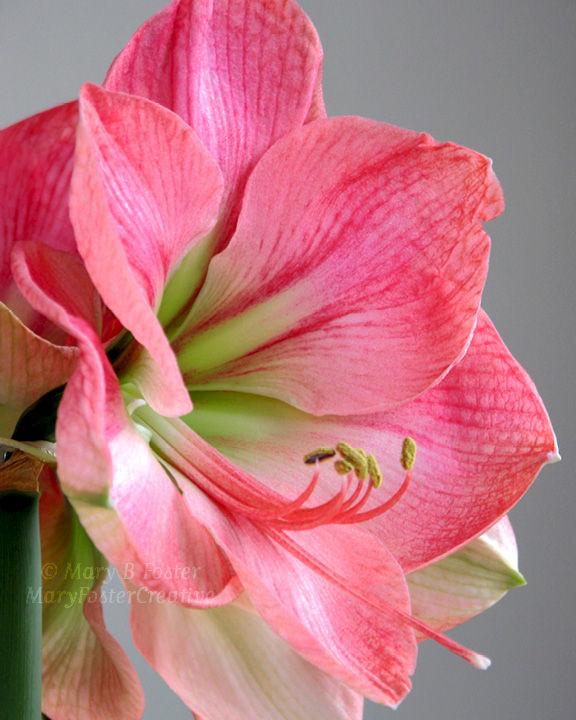 Pastel pink flower photography vera amaryllis mary for Amaryllis rose