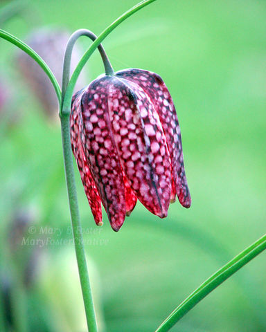 Spring,Flower,Photograph,Fritillaria,Checkered,Lily,,Purple,Pink,Green,Art, Photography, Nature, checkered lily flower photo, fritillaria meleagris, pink, purple, macro floral photography, spring flower, botanical wall art, Mary Foster Creative