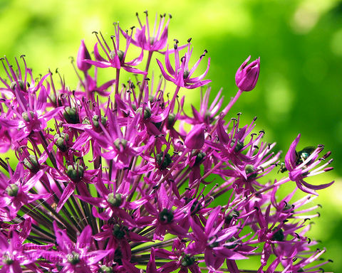Purple,Sensation,Allium,Spring,Flower,Photography,Art, Photography, Nature, macro,8x10, purple, wall art, flower photography, bright purple, lime green, allium, floral photo, spring flower, garden flower