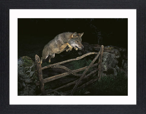 Wildlife,-,01,Picture, Photo, Photograph, Print, Framed Photograph,  Icon, Wolf, Grey Wolf, dog