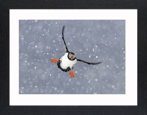 Wildlife,-,02,Picture, Photo, Photograph, Print, Framed Photograph,  Icon, Puffin, Bird, auk, pelagic seabirds, large colonies, coastal cliffs