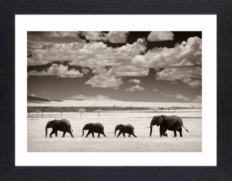 Wildlife,-,03,Picture, Photo, Photograph, Print, Framed Photograph,  Icon, Elephants, Elephantidae, Elephas, Loxodonta, African bush elephant, the African forest elephant, Indian or Asian elephant