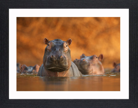 Wildlife,-,04,Picture, Photo, Photograph, Print, Framed Photograph,  Icon, hippopotamus, hippo, river horse, sub-Saharan Africa