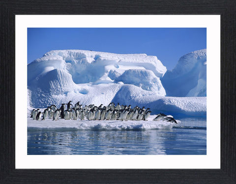 Wildlife,-,05,Picture, Photo, Photograph, Print, Framed Photograph,  Icon, Penguins, aquatic flightless birds, Antarctica