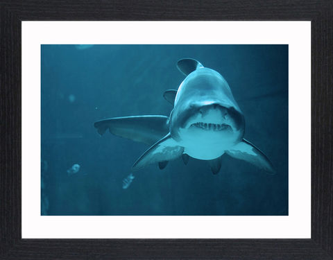 Wildlife,-,07,Picture, Photo, Photograph, Print, Framed Photograph,  Icon, Shark, great white shark, tiger shark, blue shark, mako shark, hammerhead shark