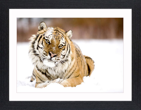 Wildlife,-,09,Picture, Photo, Photograph, Print, Framed Photograph,  Icon, Tiger, Cat, Siberian, bengal