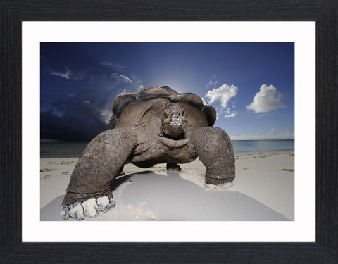 Wildlife,-,10,Picture, Photo, Photograph, Print, Framed Photograph,  Icon, Giant Tortoise, Tortoise, Seychelles, the Mascarenes, the Galapagos.