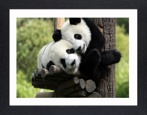 Wildlife,-,11,Picture, Photo, Photograph, Print, Framed Photograph,  Icon, Panda, Giant Panda, south western China, bamboo, Sichuan province, Shaanxi, Gansu provinces