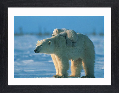 Wildlife,-,12,Picture, Photo, Photograph, Print, Framed Photograph,  Icon, Polar Bear, Arctic Circle, maritime bear