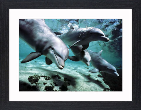 Wildlife,-,16,Picture, Photo, Photograph, Print, Framed Photograph,  Icon, Dolphins, Dolphin, marine mammals, whales, porpoises