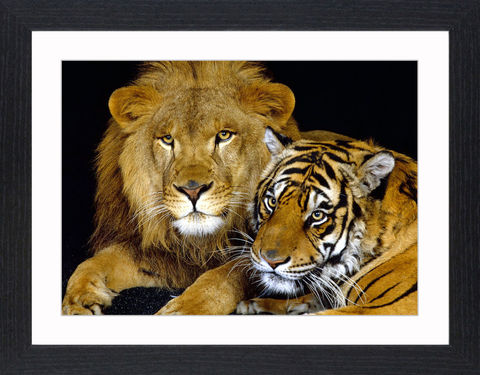 Wildlife,-,18,Picture, Photo, Photograph, Print, Framed Photograph,  Icon, Tiger, Cat, Siberian, bengal, lion