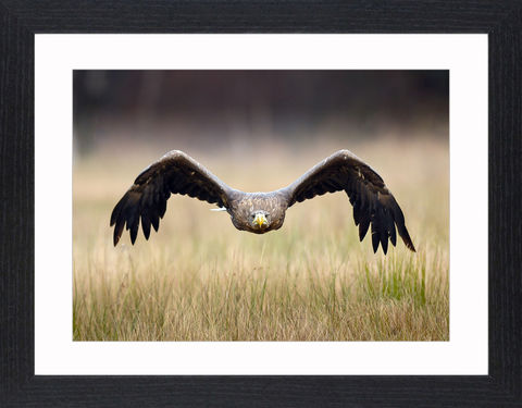 Wildlife,-,15,Picture, Photo, Photograph, Print, Framed Photograph,  Icon, Eagle, bald eagle, golden eagle
