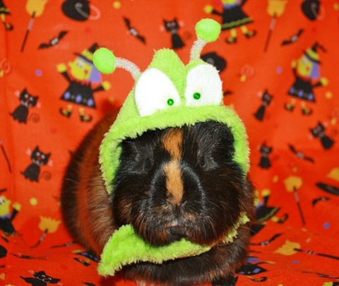 Glowing,Alien,Hat,Photo,Prop,for,Ferrets,,Guinea,Pigs,,Rats,and,pocket,pets,halloween, Hat,guinea_pig_hat,pocket_pet,costume,alien,bug,glow_in_the_dark,ferret_hat,rat,hamster,contest,spa fleece,fleece,glow in the dark paint,glitter,glow chenille stem,pom pom