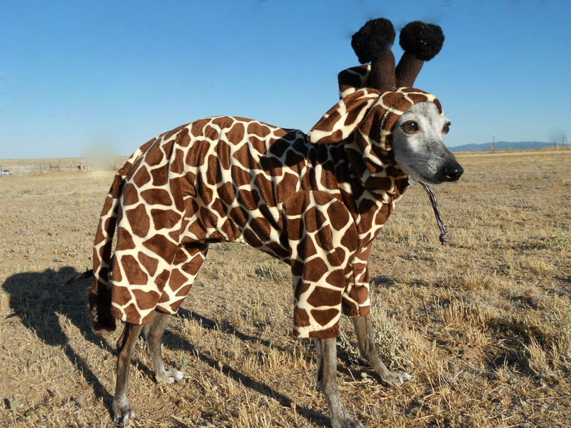 Petite Giraffe Pet Costume- have your own tiny lap giraffe ...