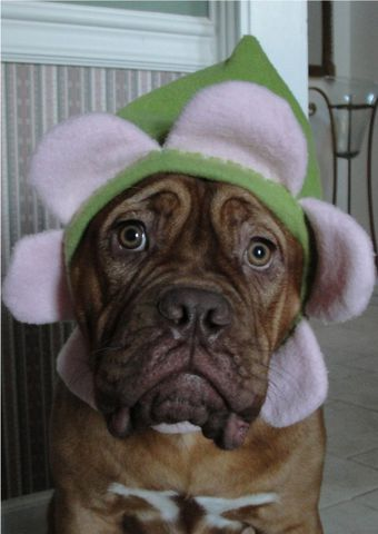 Fleece,Flower,Hat,for,Large,Dogs,and,Humans,Costume,flower_hat,halloween_dog_hat,mastiff,fleece,pansie,rose,daisy,warm,costume,halloween,italian_greyhound,anti pill fleece