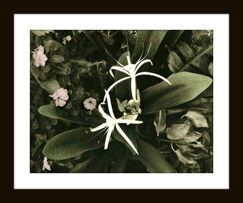 Spider,Lily,hand colored photography,hand colored photographs,hand colored photos,hand colored photography artists,hand tinted photographs,hand tinted,hand tinted photos,virgin islands photographs,hand colored art,black and white photographs, spider lily