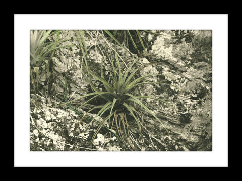 Tillandsia,(Air,Plant),hand colored photography, Hand colored photographs, hand colored photography  artists, Hand colored photo, Hand tinted photograph, Hand tinted photographs