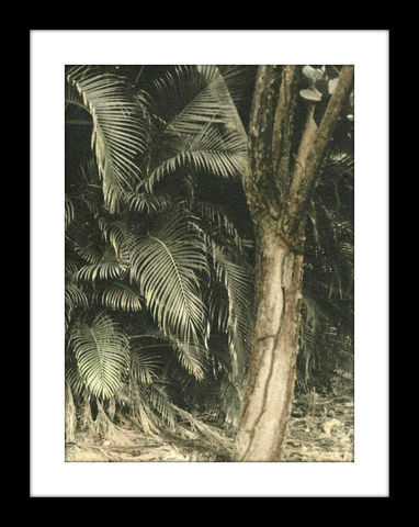 Palm,and,Tree,hand colored photography.hand colored photos,hand colored photography  artists, hand colored photograph, st. thomas usvi,hand tinted photograph