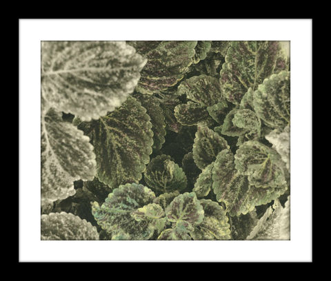 Coleus,hand colored photography,Hand colored photographs, hand colored photography  artists, Hand colored photo, Hand tinted photographs, coleus