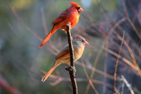Cardinal,Pair, photo, state Bird of NC, red, female cardinal, male cardinal, redbird