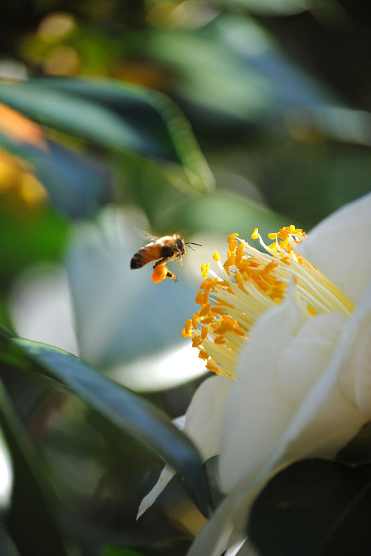 Honeybee at white camellia fine art photograph  - product images