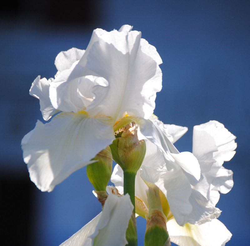 White iris fine art photograph on Easter Sunday - product images