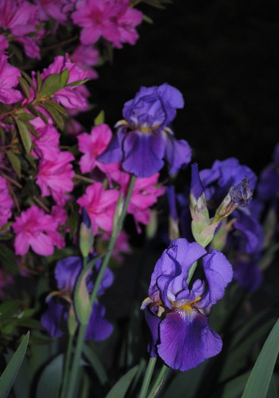 Night Garden iris photo - product images