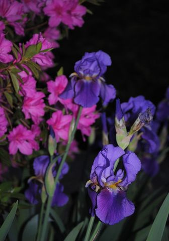 Night,Garden,iris,photo,Art,Photography,Digital,nature,purple,flower,spring_flowers,night,inks,photo paper