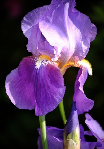 Silhouette,iris,photo,Art,Photography,Digital,nature,flowers,spring_flowers,purple,inks,photo paper