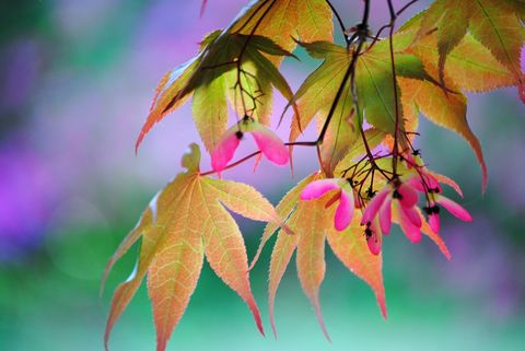 Japanese,Maple,Rainbow,art,photograph,Art,Photography,Nature,Art_photography,wall_art,mauve,green,turquoise,japanese_maple_seeds,nature_photography,seeds,maple,autumn,fine_art_photography,natural,inks,epson ultra premium photo paper luster,trees,leaves,sunshine