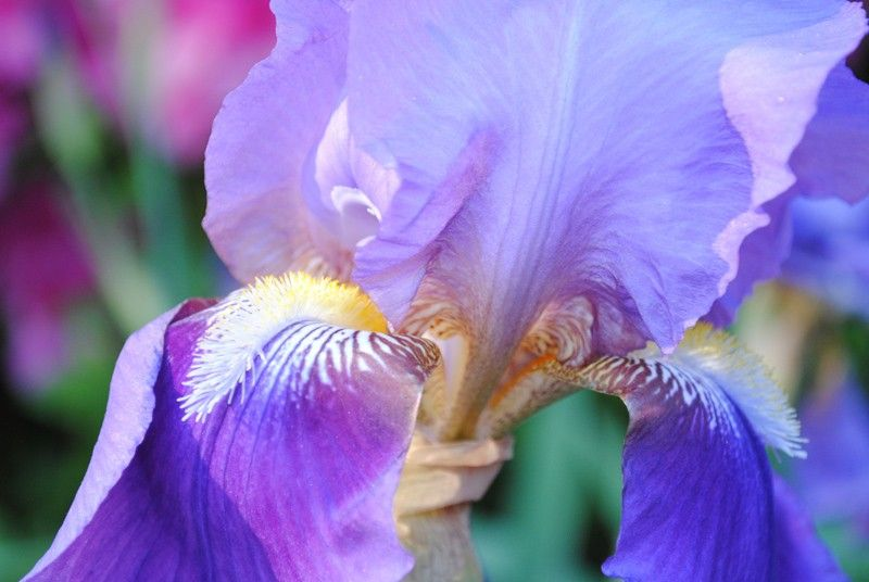 Carnivale iris photo - product images