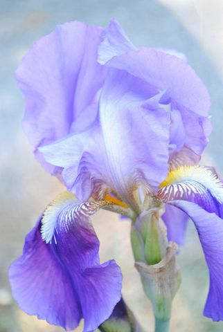 Pale,Iris,photo,Art,Photography,Digital,nature,iris,spring_flower,lavender,flower,inks,photo paper