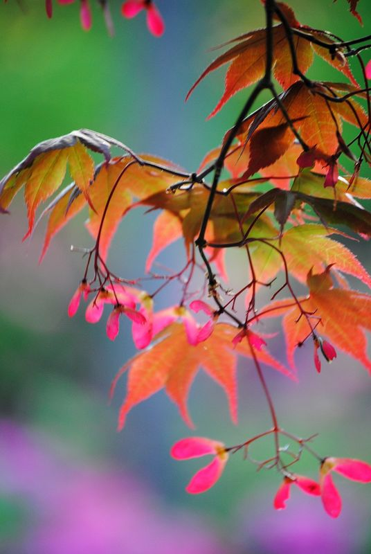 Japanese Maple Rainbow 2 - product images