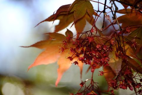 Japanese,Maple,2,Photograph,Art,Photography,Nature,japanese_maple,red,spring,tree,blooming,transparent_leaves,online_art_galleries,fine_art_photography,golden,inks,photo paper