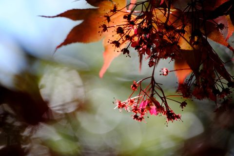 Japanese,Maple,1,Art, Photography, Nature, japanese_maple, red, spring, transparent, glow,blooming,tree,golden,online_art_gallery,fine_art_photography,inks,photo paper