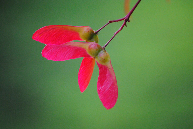Christmas Maple photograph of Japanese maple seeds - product images