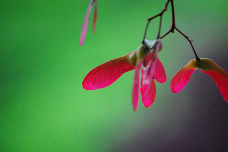 Christmas Maple photograph 2 of Japanese maple seeds - product images