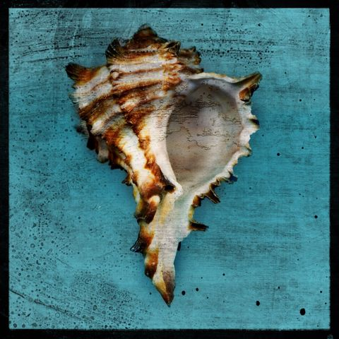 Horned,Whelk,No.,1,-,8,in,x,Altered,Photograph,Art,Photography,Digital,surreal,nature,texture,altered,seashell,white,brown,aqua,horned,whelk,paper,ink