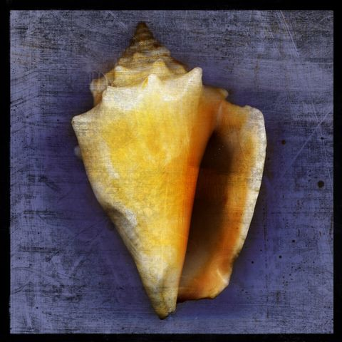 Fighting,Conch,No.,1,-,8,in,x,Altered,Photograph,Art,Photography,Digital,surreal,nature,texture,altered,seashell,white,yellow,purple,fighting,conch,paper,ink