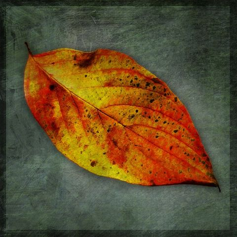 Yellow,Dogwood,Leaf,No.,1,-,8,in,x,Altered,Photograph,Art,Photography,Digital,surreal,nature,texture,altered,dogwood,leaf,red,yellow,grey,gray,paper,ink