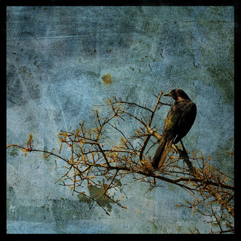 Grackle,8,in,x,Altered,Photograph,Art,Photography,Digital,surreal,nature,grackle,bird,texture,moody,ink,paper