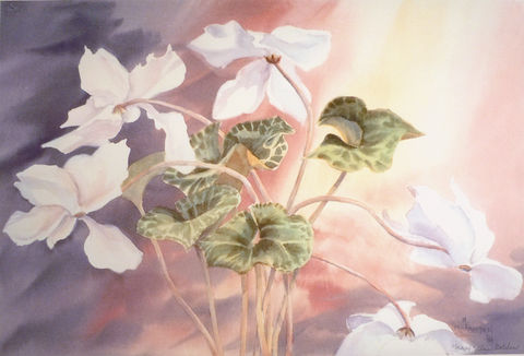 Cyclamen,Limited,Edition,cyclamen,flowers,white,limited edition