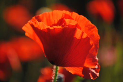 Poppies,in,May,collection,,#2,poppies, poppy, red, green, red poppies, dancing poppies, flowers
