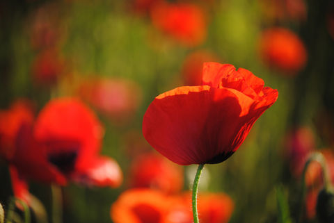 Poppies,in,May,collection,,#5,poppies, poppy, red, green, red poppies, dancing poppies, flowers