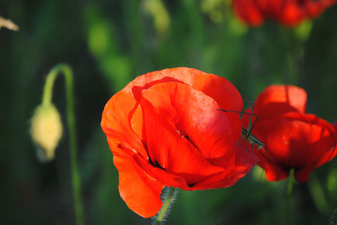Poppies,in,May,collection,,#10,poppies, poppy, red, green, red poppies, dancing poppies, flowers