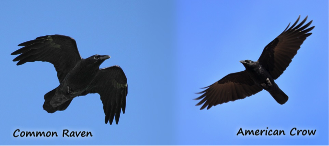 Common raven and American Crow